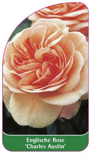Englische Rose 'Charles Austin', 68 x 120 mm