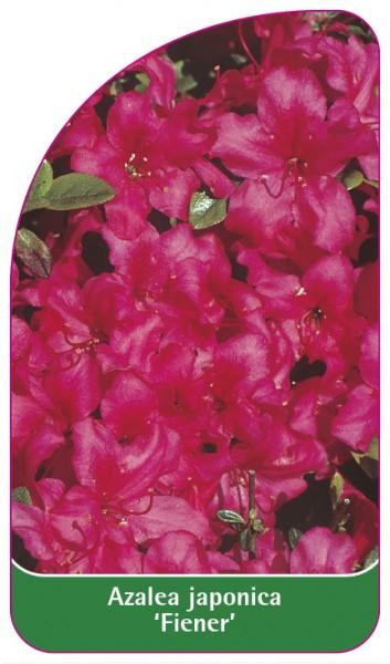 Azalea japonica 'Fiener', 68 x 120 mm