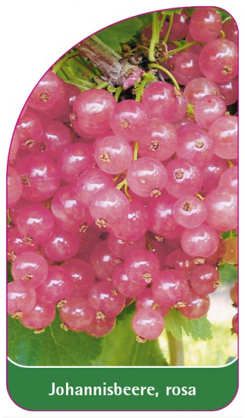Johannisbeere, rosa, 68 x 120 mm