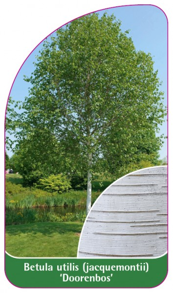 Betula utilis (jaquemontii) 'Doorenbos', 68 x 120 mm