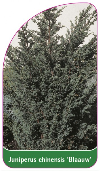 Juniperus chinensis 'Blaauw', 68 x 120 mm