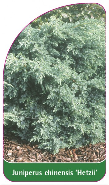 Juniperus chinensis 'Hetzii', 68 x 120 mm