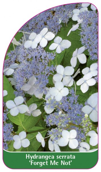 Hydrangea serrata 'Forget Me Not', 68 x 120 mm