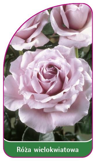 Róza wielokwiatowa Nr. 252 A, 52 x 90 mm
