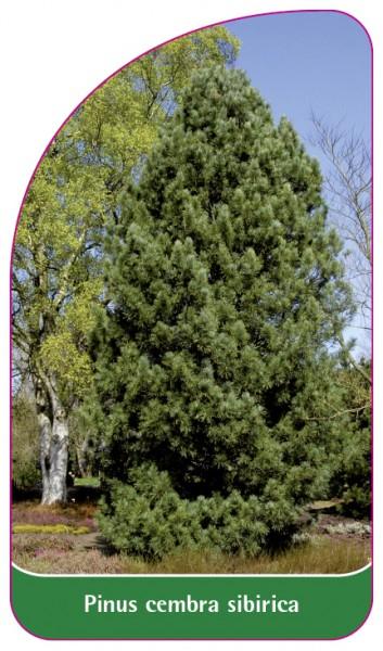 Pinus cembra sibirica, 68 x 120 mm