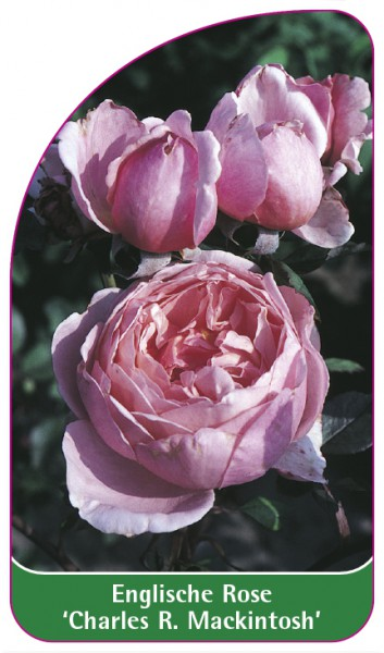 Englische Rose 'Charles R. Mackintosh', 68 x 120 mm
