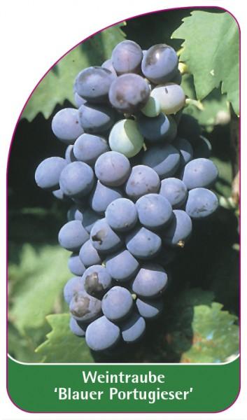 Weintraube 'Blauer Portugieser', 68 x 120 mm