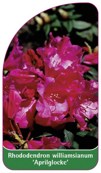 Rhododendron williamsianum 'Aprilglocke', 68 x 120 mm