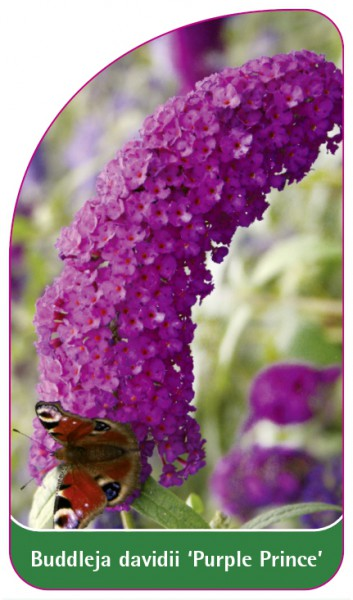 Buddleja davidii 'Purple Prince', 68 x 120 mm