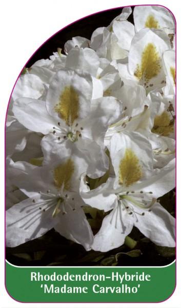Rhododendron-Hybride 'Madame Carvalho', 68 x 120 mm