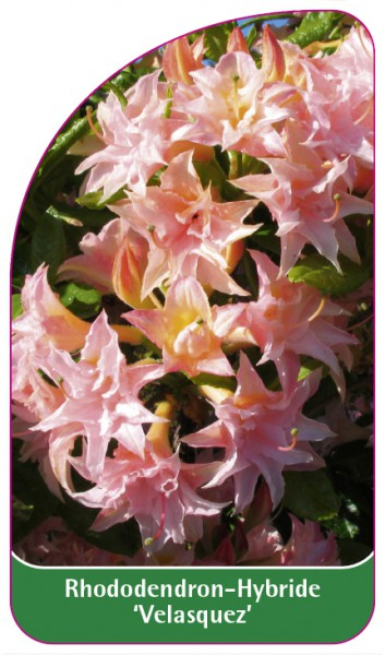 Rhododendron-Hybride 'Velasquez', 68 x 120 mm