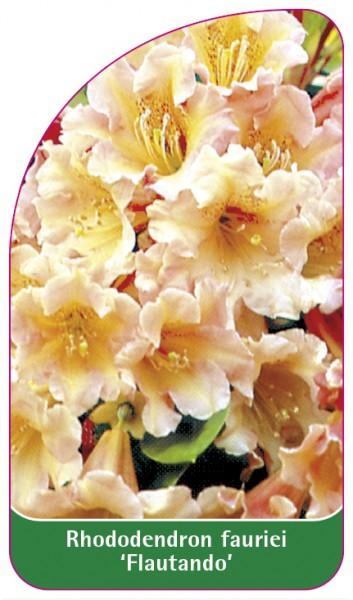 Rhododendron fauriei 'Flautando', 68 x 120 mm