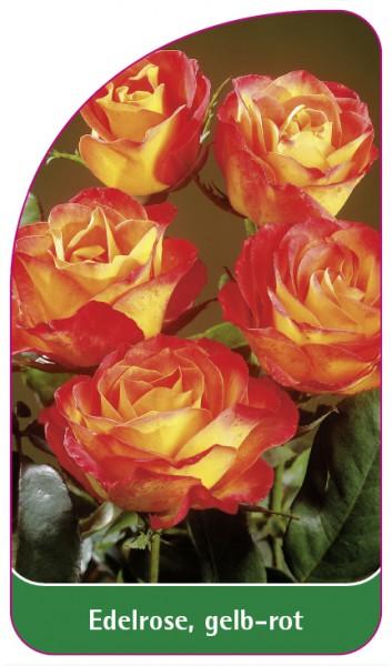 Edelrose, gelb-rot, 68 x 120 mm