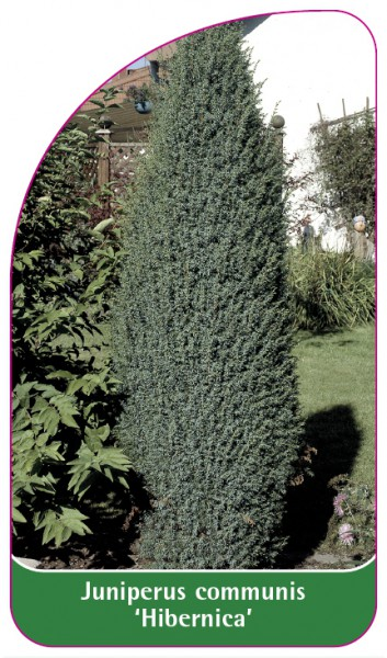 Juniperus communis 'Hibernica', 68 x 120 mm