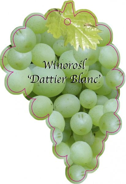 Winorośl 'Dattier Blanc', Dziedzic, 95 x 140 mm