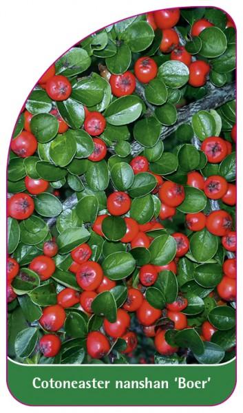 Cotoneaster nanshan 'Boer', 68 x 120 mm