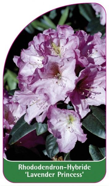 Rhododendron-Hybride 'Lavender Princess', 68 x 120 mm