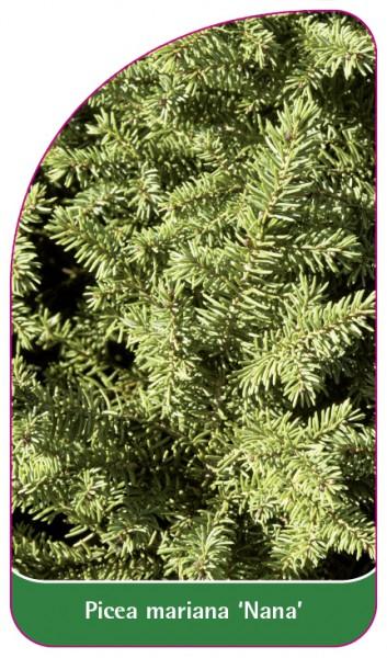 Picea mariana 'Nana', 68 x 120 mm