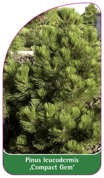 Pinus leucodermis 'Compact Gem', 68 x 120 mm