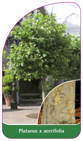 Platanus x acerifolia, 68 x 120 mm