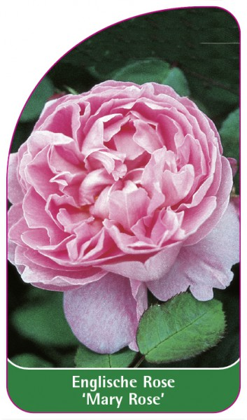 Englische Rose 'Mary Rose', 68 x 120 mm