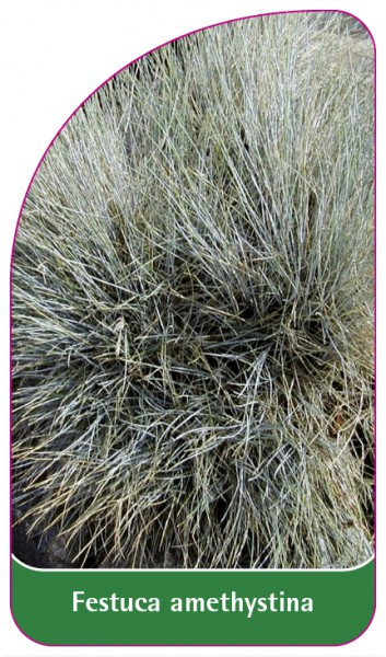 Festuca amethystina, 68 x 120 mm