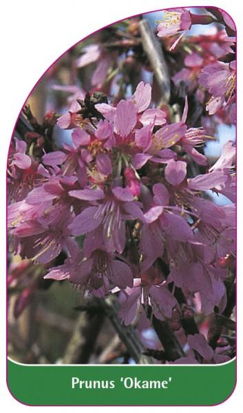 Prunus 'Okame', 68 x 120 mm