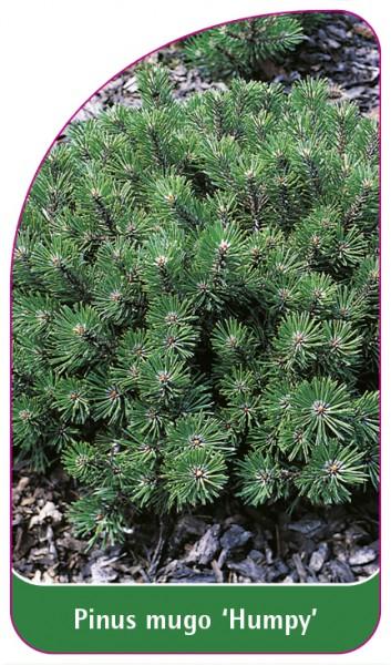 Pinus mugo 'Humpy', 68 x 120 mm