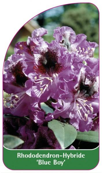 Rhododendron-Hybride 'Blue Boy', 68 x 120 mm