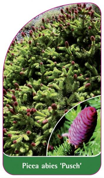 Picea abies 'Pusch', 68 x 120 mm