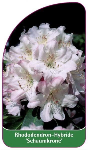 Rhododendron-Hybride 'Schaumkrone', 68 x 120 mm