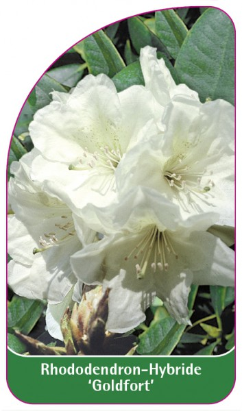 Rhododendron-Hybride 'Goldfort', 68 x 120 mm