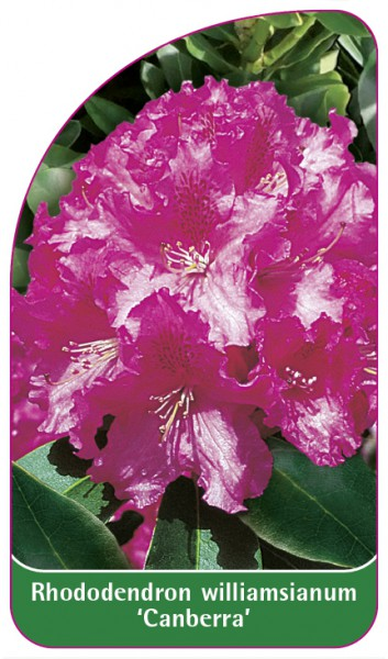 Rhododendron williamsianum 'Canberra', 68 x 120 mm