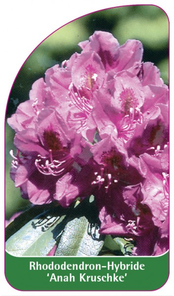 Rhododendron-Hybride 'Anah Kruschke', 68 x 120 mm