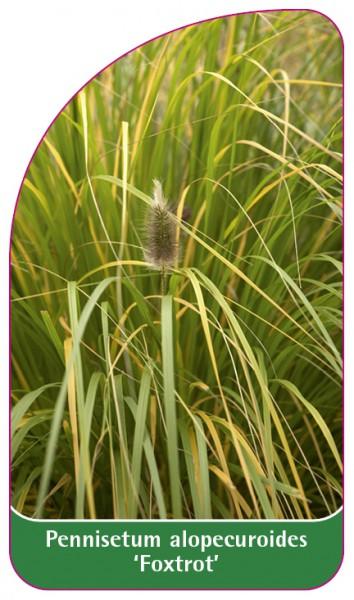 Pennisetum alopecuroides 'Foxtrot', 68 x 120 mm