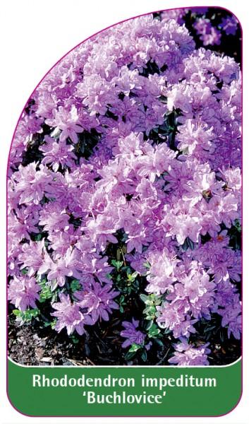 Rhododendron impeditum 'Buchlovice', 68 x 120 mm