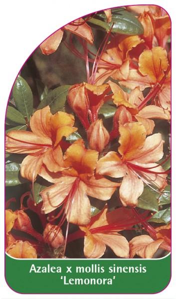 Azalea mollis x sinensis 'Lemonora', 68 x 120 mm
