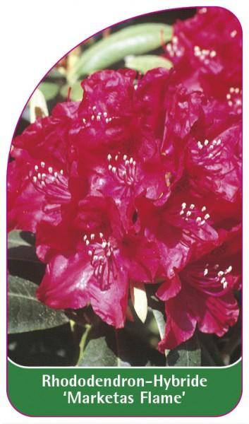 Rhododendron-Hybride 'Marketas Flame', 68 x 120 mm