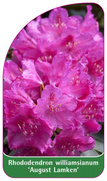 Rhododendron williamsianum 'August Lamken', 68 x 120 mm
