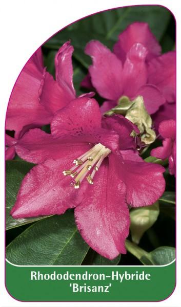 Rhododendron-Hybride 'Brisanz', 68 x 120 mm