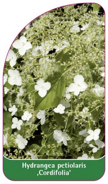 Hydrangea petiolaris 'Cordifolia', 68 x 120 mm