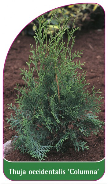 Thuja occidentalis 'Columna', 68 x 120 mm
