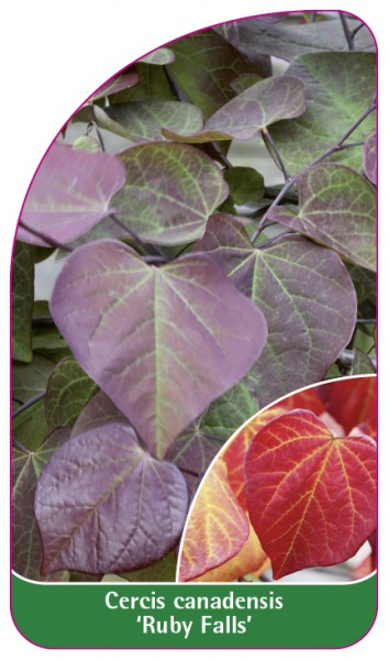 Cercis canadensis 'Ruby Falls', 68 x 120 mm