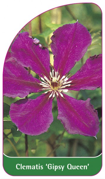 Clematis 'Gipsy Queen', 68 x 120 mm