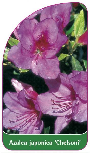 Azalea japonica 'Chelsoni', 68 x 120 mm