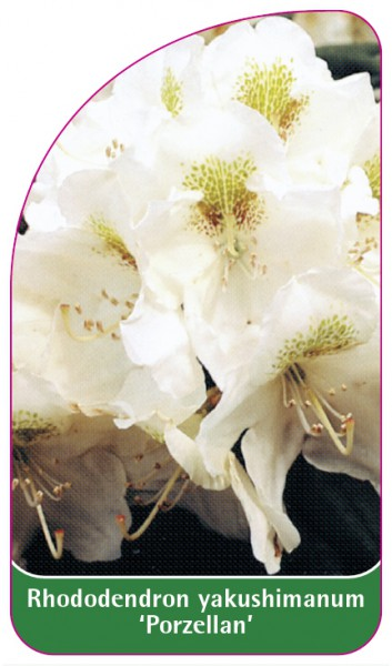 Rhododendron yakushimanum 'Porzellan', 68 x 120 mm