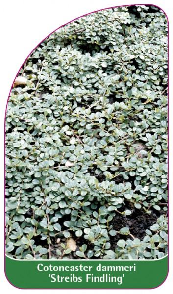 Cotoneaster dammeri 'Streibs Findling', 68 x 120 mm