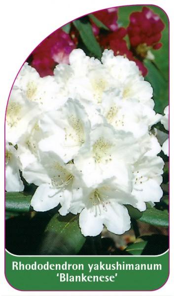 Rhododendron yakushimanum 'Blankenese', 68 x 120 mm