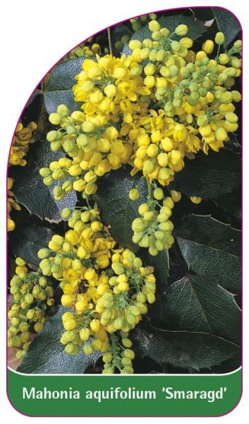 Mahonia aquifolium 'Smaragd', 68 x 120 mm