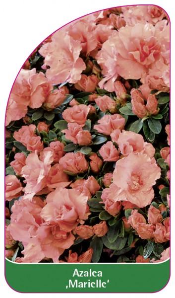 Azalea 'Marielle', 68 x 120 mm